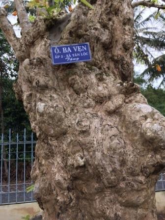 """Về Vĩnh Long ngắm cây bằng lăng cổ thụ """"độc nhất"""" trên 250 tuổi - 4"""
