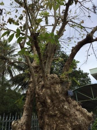Gốc cây bằng lăng rất to, ngọn cao khoảng 8 mét