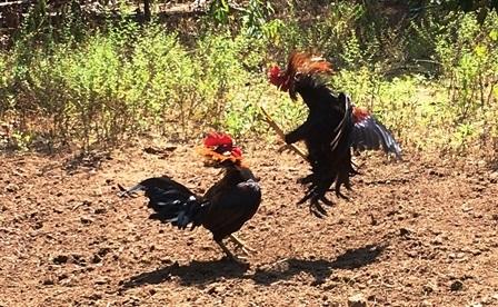 Cho phép tổ chức đá gà truyền thống trong dịp lễ, Tết nhằm thu hút khách du lịch - 1