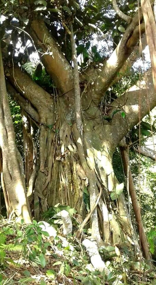 Cây đa khoảng 1.000 năm tuổi vừa được phát hiện ở Tây Giang, Quảng Nam