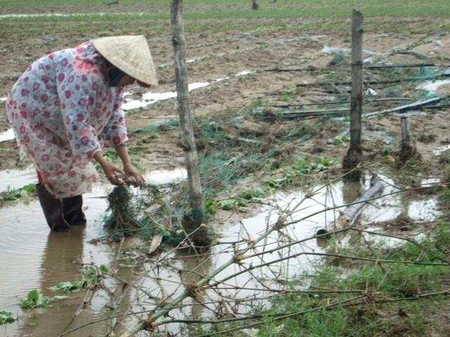 Lũ cuốn sạch rau màu ở cánh đồng Bàu Tròn (xã Đại An, Đại Lộc)