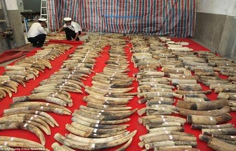 Một vụ buôn lậu ngà voi lớn bị bắt giữ tại Trung Quốc.