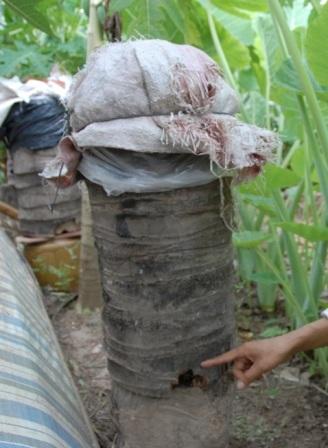 Sau thời gian nghiên cứu, thầy giáo Tạo nghĩ ra mô hình nuôi ong trong bọng dừa độc đáo