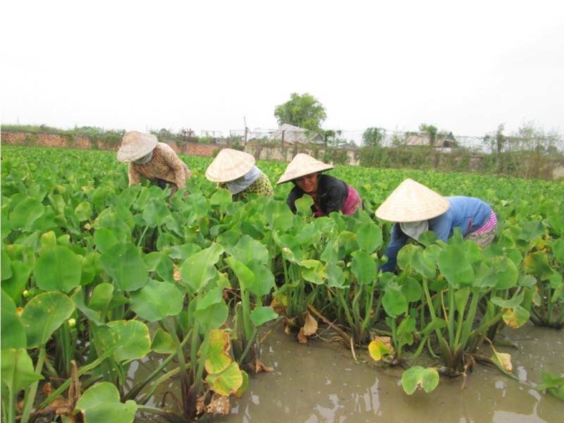 Cây kèo nèo trồng khoảng 1 tháng là có thể thu hoạch