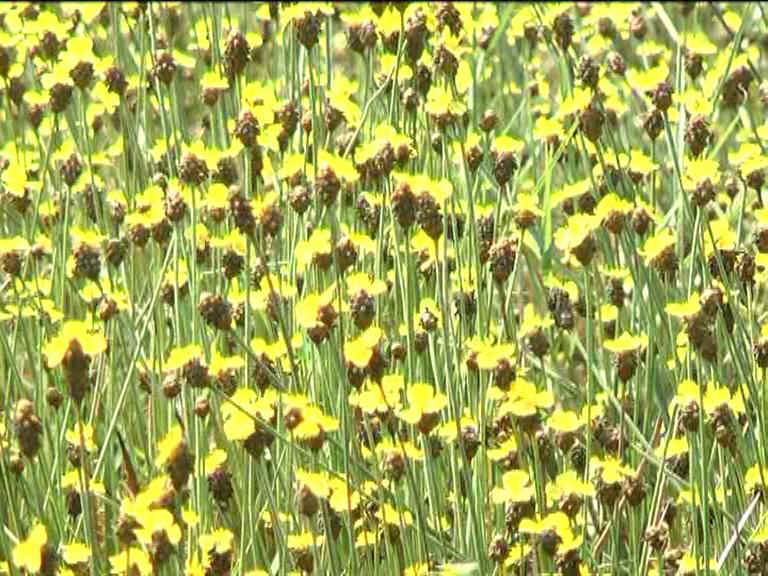 Vào thời điểm này, một góc của Vườn Quốc gia Tràm chim vàng rực sắc hoa Hoàng Đầu Ấn