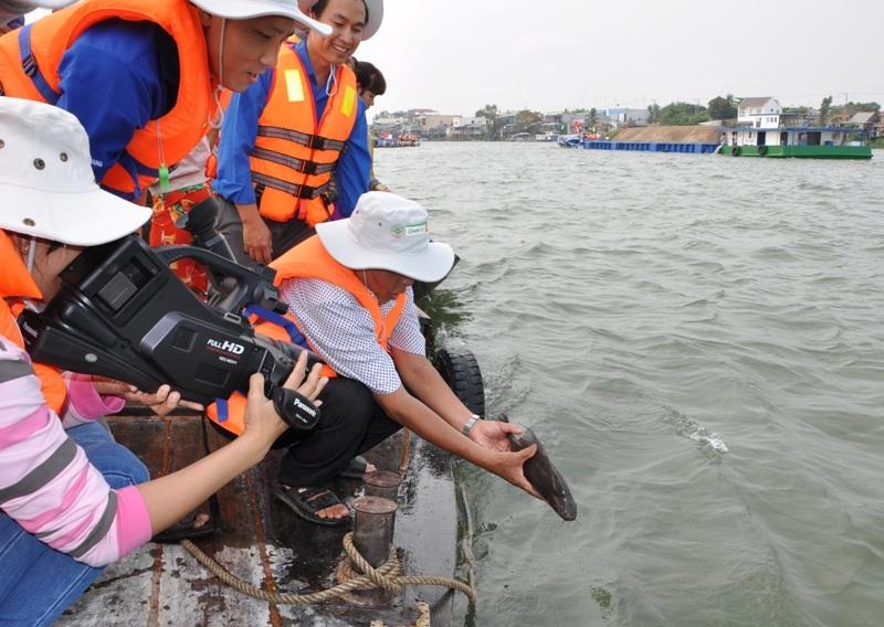 ...và một vài loài cá quý nằm trong sách đỏ Việt Nam cũng được thả về sông, như cá hô, cá lăng
