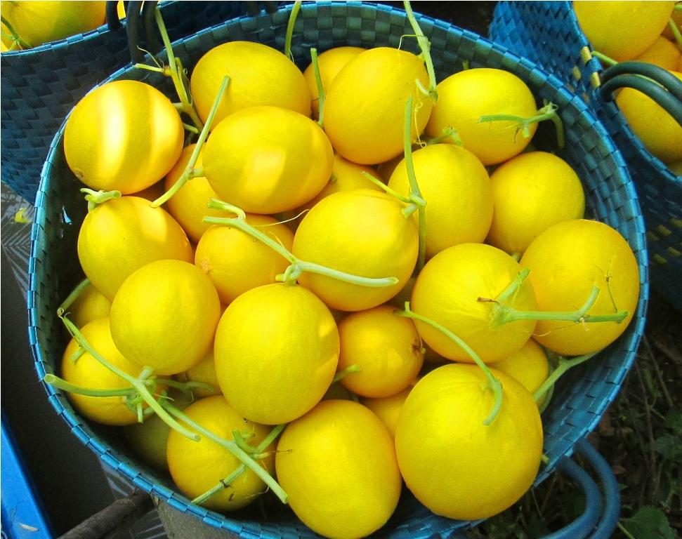 Nhu cầu thị trường chấp nhận khi Kim Cô Nương đạt trọng lượng từ 0,4 - 1,7 kg/trái