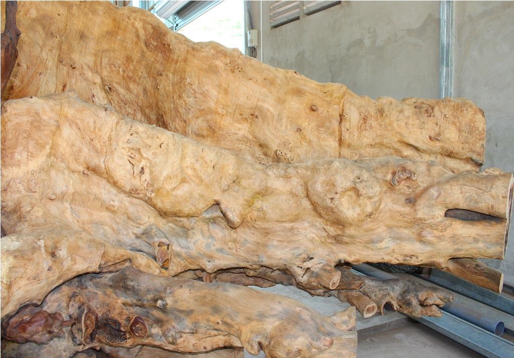 Một phần rễ được xẻ ra nhưng vẫn có kích thước rất lớn
