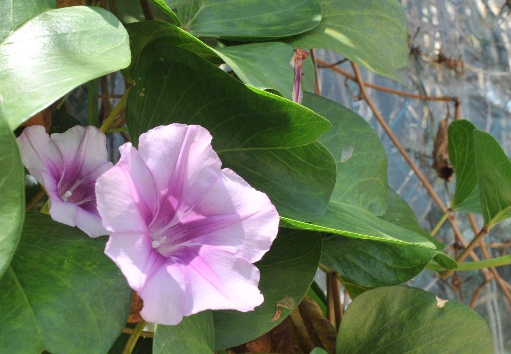 Hoa muống biển là một điểm nhất làm cho những bãi biển ở Phú Quốc thêm đẹp