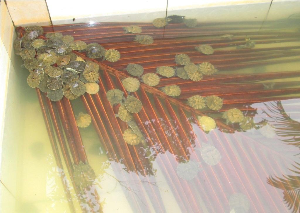 Cua đinh giống như thế này có giá bán 500.000 đồng/con.