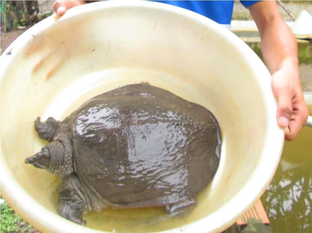 Sau gần 10 năm muôi cua đinh sẽ có trọng lượng từ 20 - 30 kg/con.