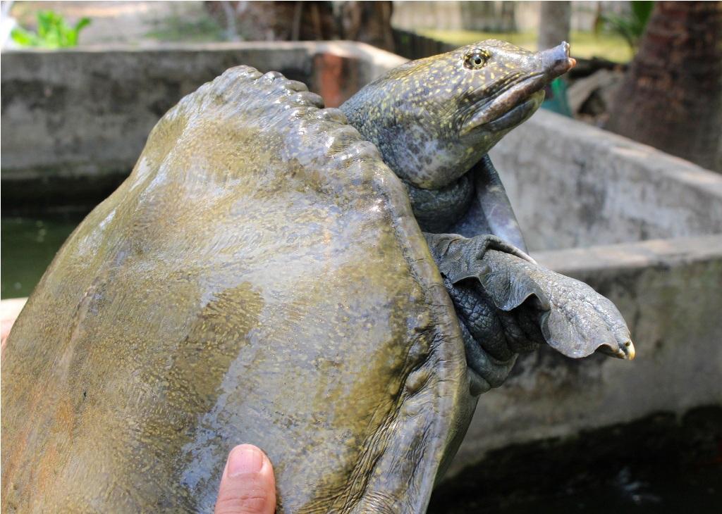 Đây là con cua đinh của ông Thủ có trọng lượng trên 35 kg.