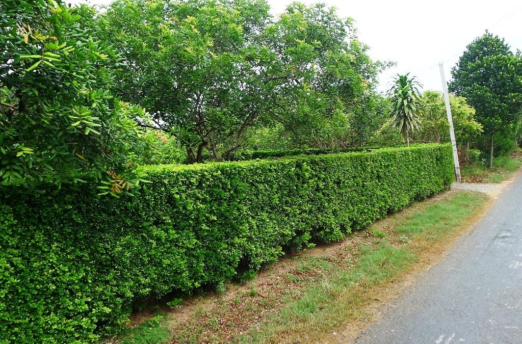 Để có bờ rào xanh, thẳng tắp thế này, gia chủ phải dày công chăm sóc có khi cả chục năm trời