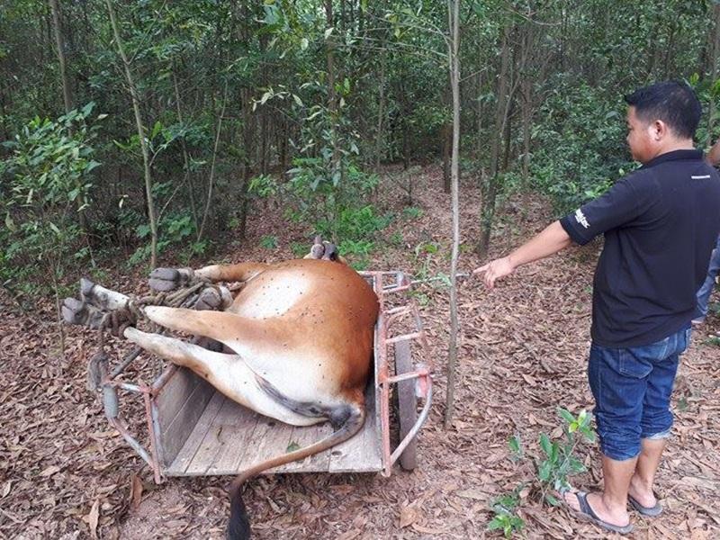 Hy hữu 2 gia đình tranh chấp 1 con bò chết, chính quyền bất lực mang đi tiêu hủy - 1