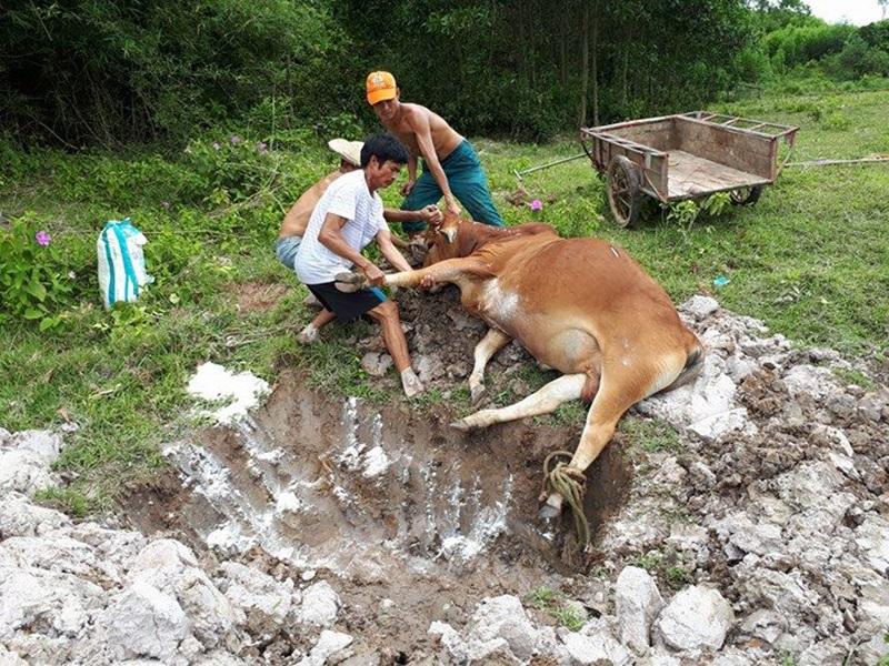 Do không giải quyết được việc tranh chấp giữa 2 gia đình ông Minh và ông Sơn, chính quyền xã đành đem con bò đi tiêu hủy.