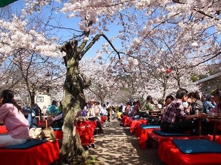 Bước dưới những tán hoa anh đào nở rộ ở Kyoto, Nhật Bản.