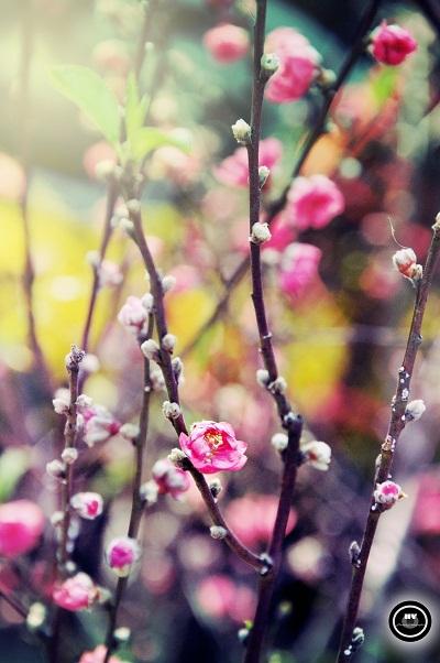 Bức ảnh hoa đào do