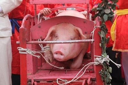 Ông lợn được đặt trang trọng trước sân đình trước lễ chém diễn ra tại sân đình năm 2015