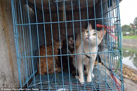 """Những con mèo bị nhốt trong lồng chờ tới lượt được """"hóa kiếp""""."""