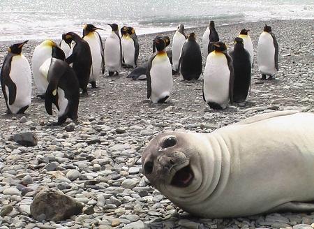 Hải cẩu chụp ké hình với chim cánh cụt.