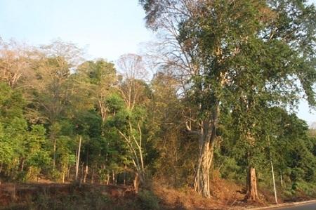 Rừng có nhiều loại gỗ quý hàng trăm năm tuổi nhưng ít ai dám xâm phạm.