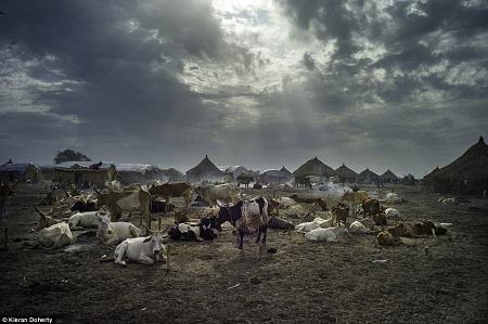 Một đàn gia súc ở Nam Sudan - Tác giả: Kieran Doherty.