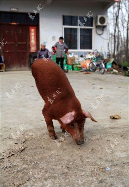 Lợn bị khuyết 2 chân vẫn đi lại tài tình - 1