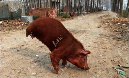 Lợn bị khuyết 2 chân vẫn đi lại tài tình - 2