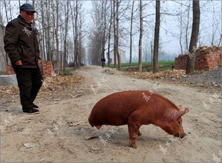 Lợn bị khuyết 2 chân vẫn đi lại tài tình - 3