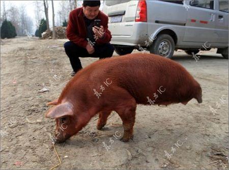 Lợn bị khuyết 2 chân vẫn đi lại tài tình - 9