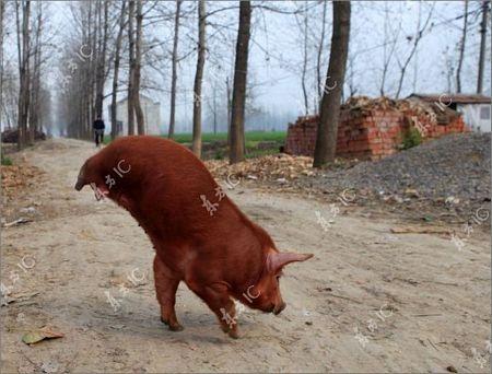 Lợn bị khuyết 2 chân vẫn đi lại tài tình - 5