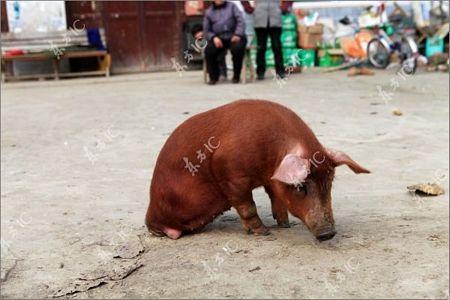 Lợn bị khuyết 2 chân vẫn đi lại tài tình - 6