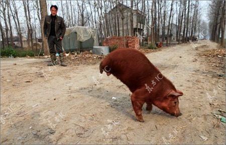 Lợn bị khuyết 2 chân vẫn đi lại tài tình - 7