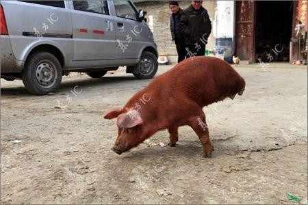 Lợn bị khuyết 2 chân vẫn đi lại tài tình - 8