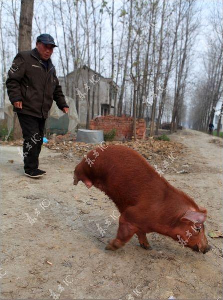 Lợn bị khuyết 2 chân vẫn đi lại tài tình - 4