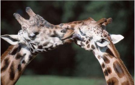 """Thế giới động vật """"yêu nhau"""" ngày Valentine - 10"""