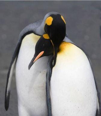 """Thế giới động vật """"yêu nhau"""" ngày Valentine - 6"""