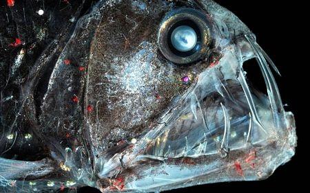 Một loài cá với bộ hàm ghê sợ.