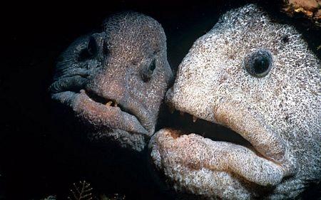 Loài cá có thân hình xù xì sống dưới Đại Tây Dương.