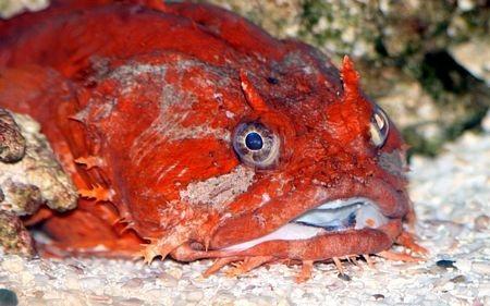 Một loài cá cóc được tìm thấy ở Vùng Vịnh.