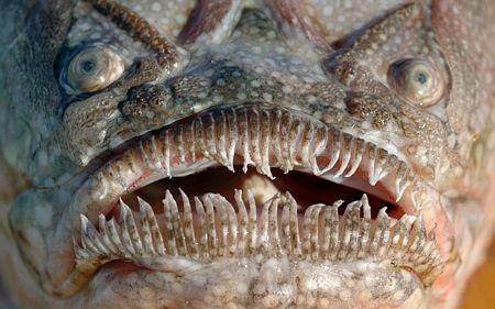 Cận cảnh cái miệng xấu xí của một con cá sao.