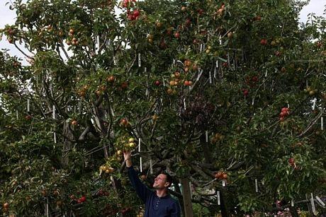 250 giống táo cùng phát triển trên một cây