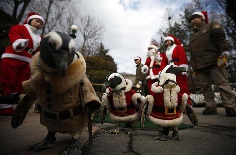Chim cánh cụt mặc giống ông già Noel tại công viên giải trí ở Yongin, phía nam Seoul, Hàn Quốc.