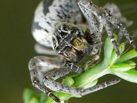 Loài kiến đang bị đe dọa Adetomyrma ở Madagascar có cách bộc lộ tình yêu với con non rất kỳ quái.