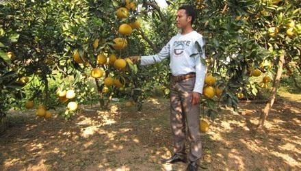 Anh Ngọc bên vườn bưởi trĩu quả