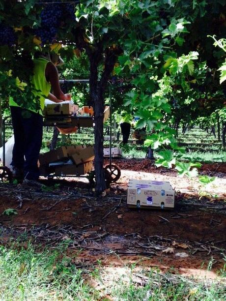 Những giọt mồ hôi mặn chát của những DHS Việt tại vườn nho lãng mạn như thế này