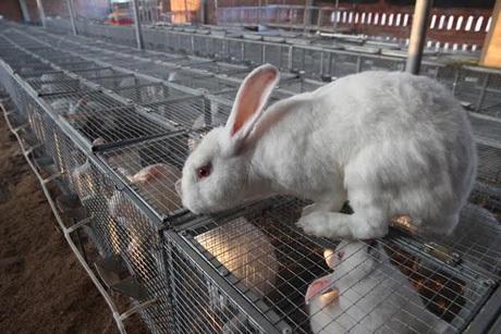Trang trại thỏ đầu tư nuôi hơn 1.000 con thỏ giống mỗi năm thu hơn 1 tỷ đồng.