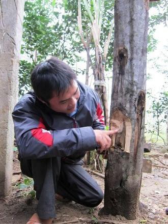 Trần Kim Việt tâm huyết bên cây trầm hương