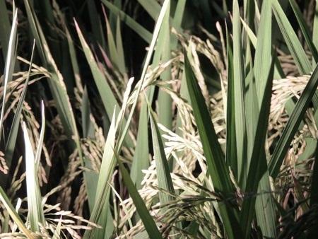Ruộng lúa còn ngào ngạt mùi nếp mới.
