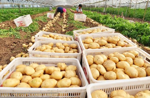 Nông dân đang thu hoạch khoai tây tại tỉnh Sơn Đông, Trung Quốc (Ảnh: